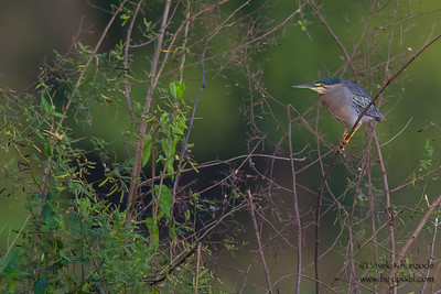 Striated Heron - Oxbow lake near Tambo Blanquillo Lodge, Peru