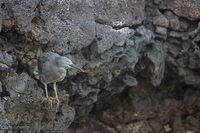 Striated Heron - Galapagos, Ecuador