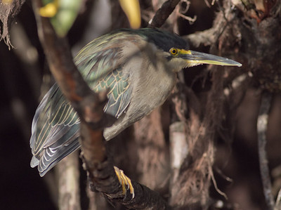 Striated Heron - Aswan, Egypt