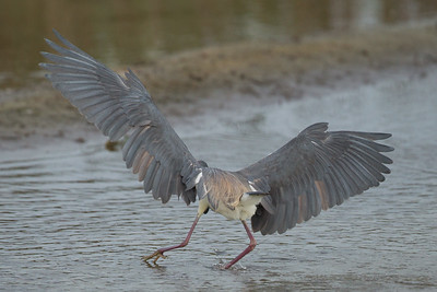 Tricolored Heron - South Padre Island, TX, USA