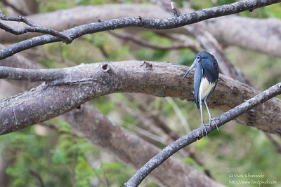 Tricolored Heron - Tobago