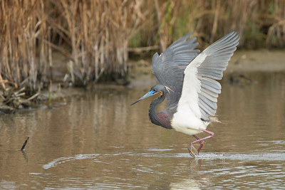 Tricolored Heron - South Padre Island, TX, USA