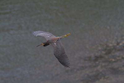 Tricolored Heron - Rio Tarcoles, Costa Rica