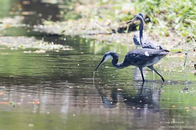 Western Reef-Heron - Record - Tobago