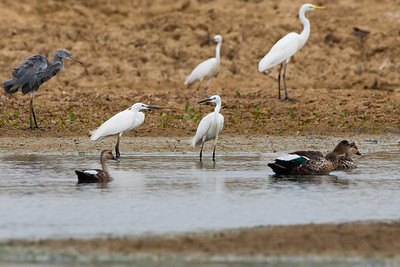 Western Reef Egret, Indian Spot-billed Ducks, Intermediate Egret and Great Egret - Kutch, Gujrat, India