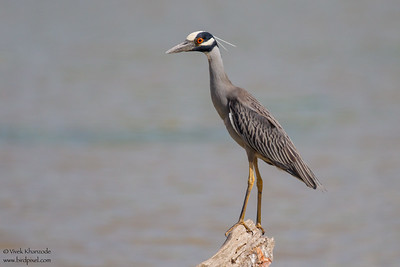 Yellow-crowned Night-Heron - Weslaco, TX, USA