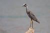 Yellow-crowned Night-Heron - Weslaco, TX, USA