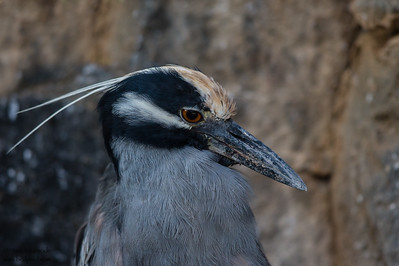 Yellow-crowned Night-Heron - Darwin Bay, Isla Genovesa, Galapagos, Ecuador