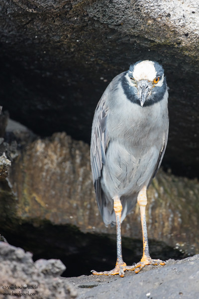 Yellow-crowned Night-Heron - Galapagos, Ecuador