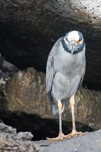 Yellow-crowned Night-Heron - Galapagos, Ecuador