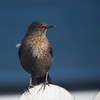 Black Bird (Turdus merula) :