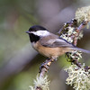 Black-Capped Chickadee<br /> 05 OCT 2013