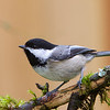 Black-Capped Chickadee<br /> 21 APR 2013