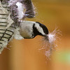 Black-Capped Chickadee<br /> 02 MAY 2013