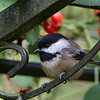Black-Capped Chickadee<br /> 30 SEP 2013