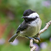 Black-Capped Chickadee<br /> 29 JUL 2013