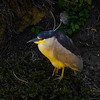 Black-Crowned Night-Herons : I recommend that you click on the slide show button at the top right side of this page to sit back and enjoy the fine art show. When the slide show begins, I suggest that you click on Hide Captions to view the images unencumbered by text. You can click on the 'Slow,' 'Medium,' or 'Fast' button for your speed preference.  At the conclusion of the slide show click on an image then click on 'show details' at the top of the page to open an option to comment on the image.  There are multiple pages to view so please click on the next page. Visit my Guestbook and leave your comments about my photography. All of the photos in this gallery are available for purchase.