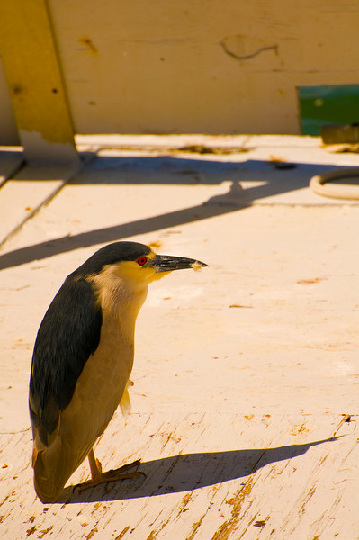 Adult Male Black-Crowned Night-Heron