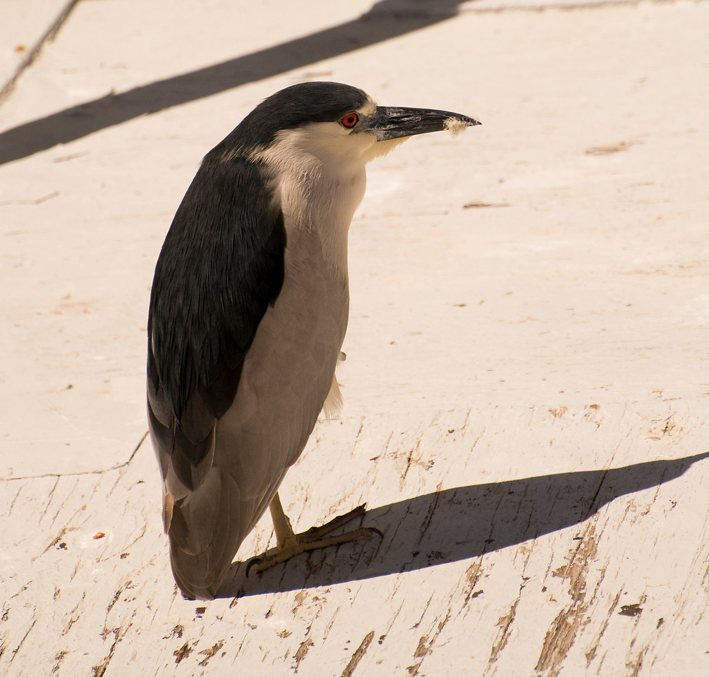 Adult Male Black-Crowned Night-Heron