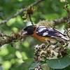 Black -Headed Grosbeak