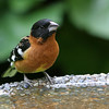 Black-Headed Grosbeak<br /> 12 MAY 2008