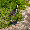 Black-Necked Stilts :