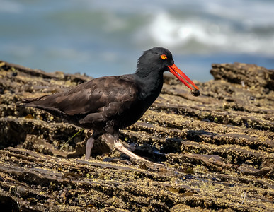 Black Oystercatcher with food