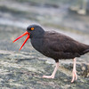 Black Oyster Catcher