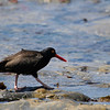 Black Oystercatchers : I recommend that you click on the slide show button at the top right side of this page to sit back and enjoy the fine art show. When the slide show begins, I suggest that you click on Hide Captions to view the images unencumbered by text. You can click on the 'Slow,' 'Medium,' or 'Fast' button for your speed preference.  At the conclusion of the slide show click on an image then click on 'show details' at the top of the page to open an option to comment on the image.  There are multiple pages to view so please click on the next page. Visit my Guestbook and leave your comments about my photography. All of the photos in this gallery are available for purchase.