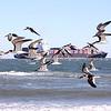 Black Skimmers<br /> Tybee Island