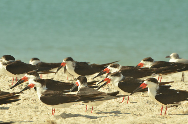 Black Skimmer (Rynchops niger), Nokomis, Casey Key<br /><br />Skimmers have a light graceful flight, with steady beats of their long wings. They feed usually in large flocks, flying low over the water surface with the lower mandible skimming the water (in order of importance) for small fish, insects, crustaceans and molluscs[4] caught by touch by day or especially at night.<br /><br />They spend much time loafing gregariously on sandbars in the rivers, coasts and lagoons they frequent.