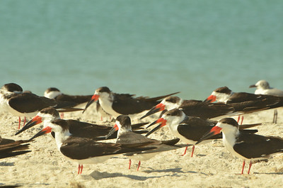 Black Skimmers, Casey Key, Florida