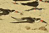 Black Skimmer (Rynchops niger), Nokomis, Casey Key<br /><br />Caught napping, though it looks as if they crash-landed!<br /><br />Skimmers have a light graceful flight, with steady beats of their long wings. They feed usually in large flocks, flying low over the water surface with the lower mandible skimming the water (in order of importance) for small fish, insects, crustaceans and molluscs[4] caught by touch by day or especially at night.<br /><br />They spend much time loafing gregariously on sandbars in the rivers, coasts and lagoons they frequent.