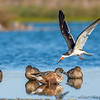 Black Skimmer dive bombing a Northern Shoveler