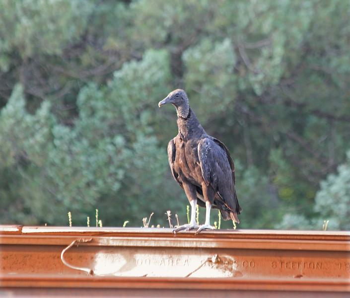 Harley, the Black Vulture, stands on a railroad track in Vidalia, Georgia.