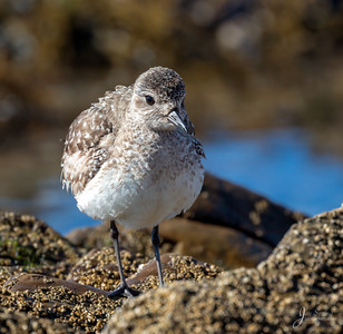 Bleck bellied Plover