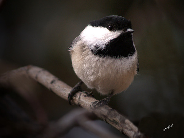 PA 08MR6974 Black-capped Chickadee (Poecile atricapillus).  The Black-capped Chickadee is the Massachusetts state bird.