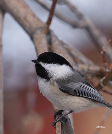 PA 08FB6380 Black-capped Chickadee (Poecile atricapillus).  The vocalizations of the Black-capped chickadees are highly complex (Ficken et al., 1978). 13 distinct types of vocalizations have been classified, many of which are complex and can communicate different types of information.