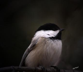 PA 08MR6976 Black-capped Chickadee (Poecile atricapillus).