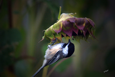 PA 07SP0677  Black-capped Chickadee (Poecile atricapillus).