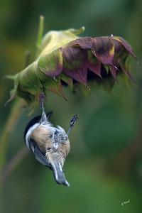 PA 07SP0650  Black-capped Chickadee (Poecile atricapillus).