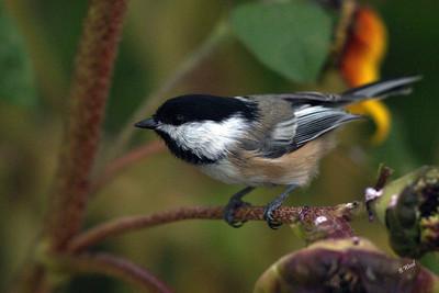 PA 07SP0653  Black-capped Chickadee (Poecile atricapillus).
