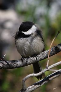 PA 07MY7002  Black-capped Chickadee (Poecile atricapillus).