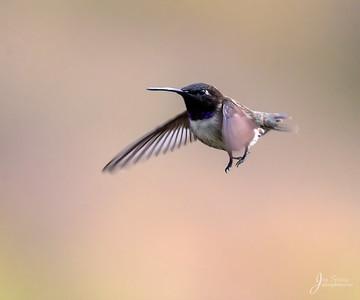 Black chinned Hummingbird