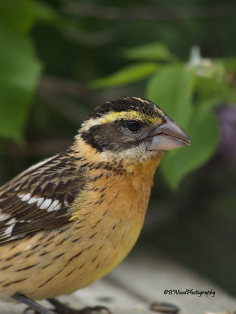 PM 08JU1639 Immature Male Black-headed Grosbeak