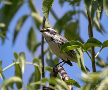 Black throated Gray Warbler Female