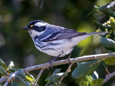 Female Black throated Gray Warbler