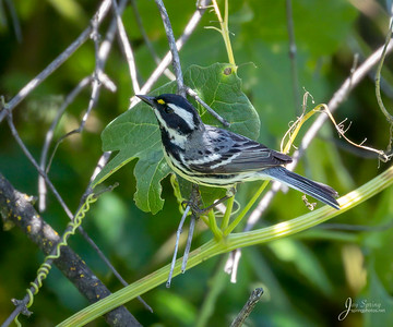 Black throated Gray Warbler