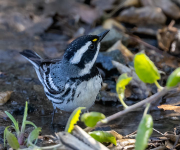 Male Black throated Gray Warbler