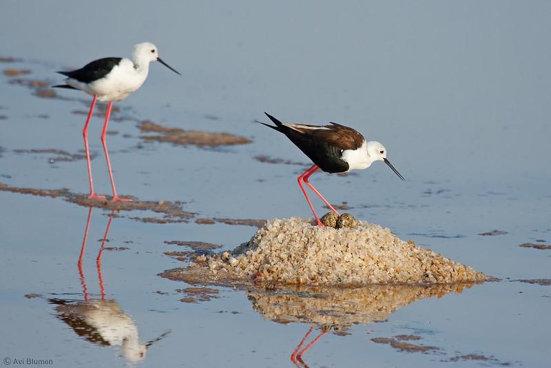 Black-winged stilts - couple Incubating change shifts<br /> תמירונים בקן חילוף משמרות בדגירה